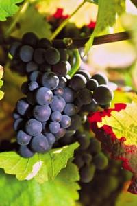 Reebsorten spanischer Wein